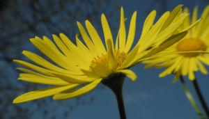 Herzblaettrige Gaemswurz Bluete gelb Doronicum columnae 15