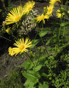 Herzblaettrige Gaemswurz Bluete gelb Doronicum columnae 19