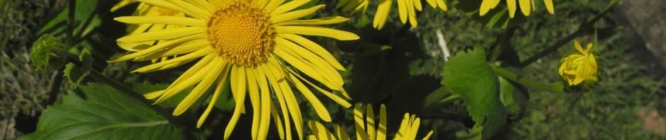 Anklicken um das ganze Bild zu sehen  Herzblättrige Gämswurz Blüte gelb Doronicum columnae