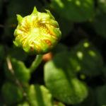 Bild: Herzblättrige Gemswurz Blüte gelb Doronicum columnae