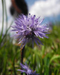 Herzblaettrige Kugelblume Bluete blau Globularia cordifolia 05