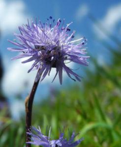 Herzblaettrige Kugelblume Bluete blau Globularia cordifolia 06
