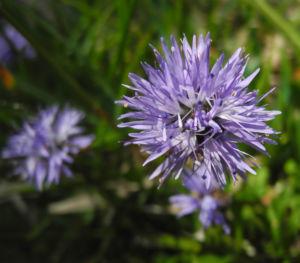 Herzblaettrige Kugelblume Bluete blau Globularia cordifolia 07