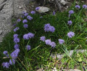 Herzblaettrige Kugelblume Bluete blau Globularia cordifolia 08