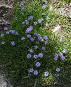 Herzblaettrige Kugelblume Bluete blau Globularia cordifolia 09