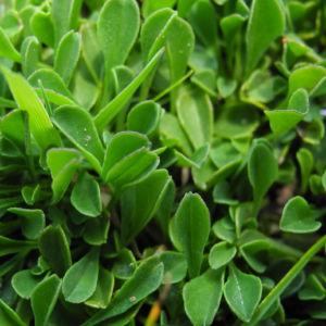 Herzblaettrige Kugelblume Bluete blau Globularia cordifolia 11
