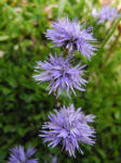 Bild:  Herzblättrige Kugelblume Blüte blau Globularia cordifolia