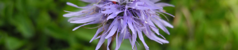 herzblaettrige-kugelblume-bluete-blau-globularia-cordifolia