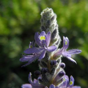 Herzblaettriges Hechtkraut Bluete blau Pontederia cordata 05