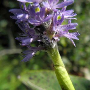 Herzblaettriges Hechtkraut Bluete blau Pontederia cordata 06