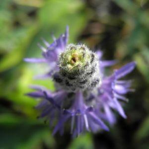 Herzblaettriges Hechtkraut Bluete blau Pontederia cordata 07