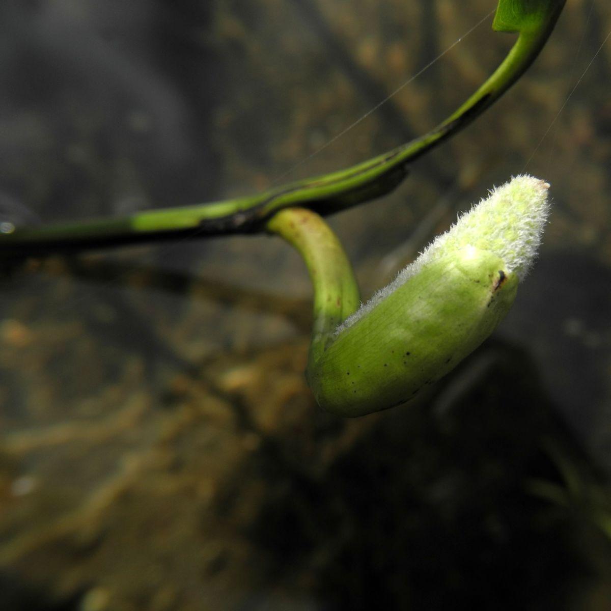 Herzblaettriges Hechtkraut Knospe Pontederia cordata