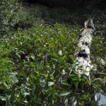 Herzblaettriges Hechtkraut Pontederia cordata 03