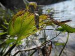 Herzblaettriges Hechtkraut Pontederia cordata 04