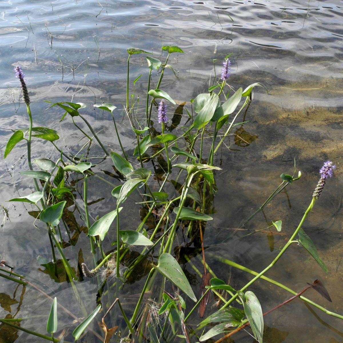 Herzblaettriges Hechtkraut Pontederia cordata