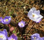 Herzblattschale Bluete lila Plagiorhegma dubium 01