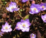Herzblattschale Bluete lila Plagiorhegma dubium 02