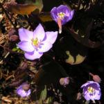 Herzblattschale Bluete lila Plagiorhegma dubium 03