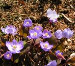 Herzblattschale Bluete lila Plagiorhegma dubium 04