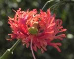 Hibiskus Blüte rose Hibiscus schizopetalus 01