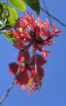 Bild: Hibiskus Blüte rose Hibiscus schizopetalus
