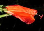 Hibiskus Strauch Bluete rot Hibiscus 04