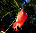 Hibiskus Strauch Bluete rot Hibiscus 05