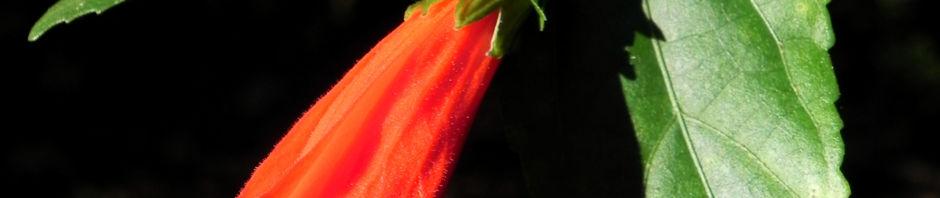 Anklicken um das ganze Bild zu sehen Hibiskus Strauch Blüte rot Hibiscus