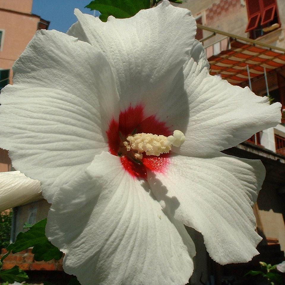 Hibiskus weiss rot Hibiscus syriacus