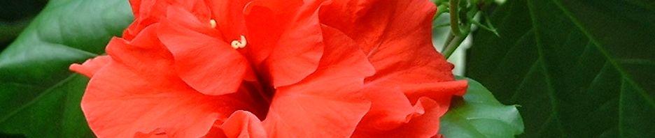 Anklicken um das ganze Bild zu sehen Hibiskus Blüte rot Hibiscus syriacus