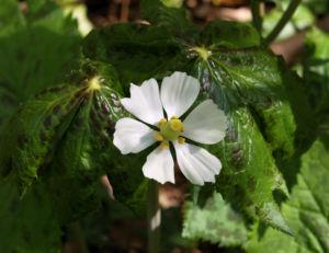 Himalaja Fussblatt Bluete weiss Podophyllum hexandrum 02