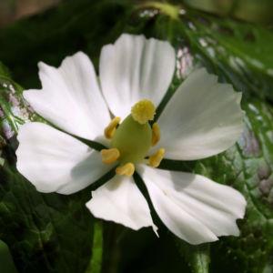 Himalaja Fussblatt Bluete weiss Podophyllum hexandrum 04