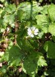 Bild: Himalaja-Fussblatt Blüte weiß Podophyllum hexandrum