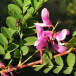 Himalaja Indigostrauch Blaetter Bluete pink Indigofera heterantha 07
