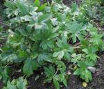 Bild: Himalaya-Maiapfel Frucht Blatt grün Podophyllum hexandrum