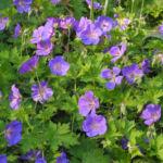 Himalaya Storchschnabel Bluete blau lila Geranium himalayense 03