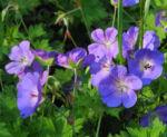 Himalaya Storchschnabel Bluete blau lila Geranium himalayense 04