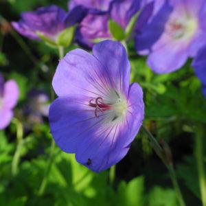 Himalaya Storchschnabel Bluete blau lila Geranium himalayense 05