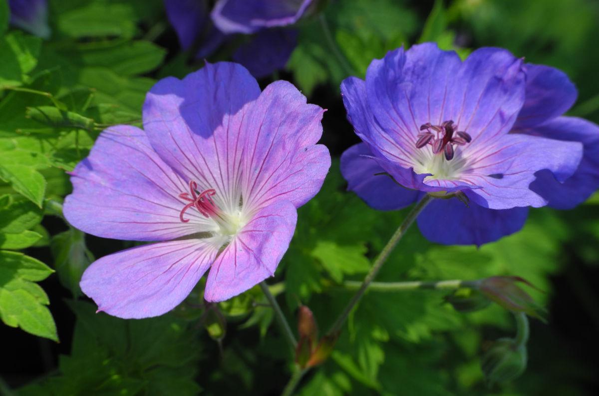 Himalaya Storchschnabel Bluete blau lila Geranium himalayense