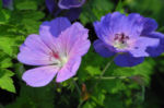 Bild:  Himalaya-Storchschnabel Blüte blau lila Geranium himalayense