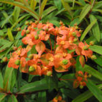 Himalaya Wolfsmilch Bluete orange Euphorbia griffithii 01
