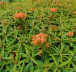 Himalaya Wolfsmilch Bluete orange Euphorbia griffithii 04