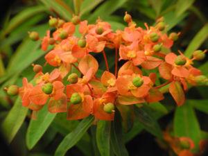 Himalaya Wolfsmilch Bluete orange Euphorbia griffithii 05