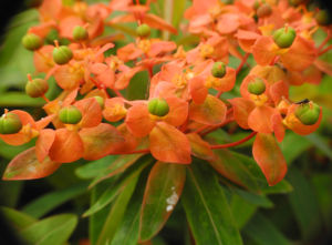 Himalaya Wolfsmilch Bluete orange Euphorbia griffithii 06