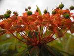 Himalaya Wolfsmilch Bluete orange Euphorbia griffithii 07