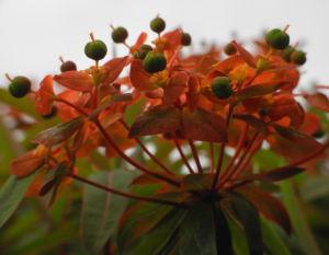 Himalaya Wolfsmilch Bluete orange Euphorbia griffithii 08