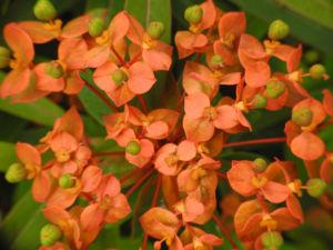 Himalaya Wolfsmilch Bluete orange Euphorbia griffithii 09