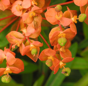 Himalaya Wolfsmilch Bluete orange Euphorbia griffithii 10