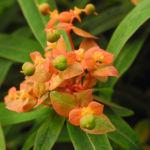 Bild: Himalaya-Wolfsmilch Blüte orange Euphorbia griffithii