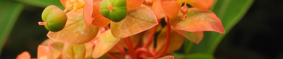himalaya-wolfsmilch-bluete-orange-euphorbia-griffithii